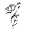 doodle milfoil medicinal herb vector image vector image