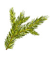 green spruce branch isolated vector image vector image