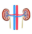 structure of kidneys on isolated background vector image vector image