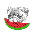 dog with red watermelon cute pug portrait vector image vector image