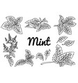 mint drawing set isolated plant vector image