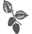 mulberry hand drawn sketch fruit vector image vector image