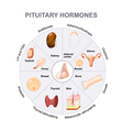 pituitary hormones vector image vector image