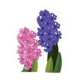 pink and blue hyacinth flowers with green leafs vector image vector image