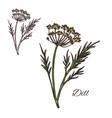 dill seasoning plant sketch plant icon vector image vector image