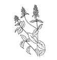doodle mint herbs-drawn outline vector image vector image