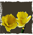 narcissus flowers vector image vector image