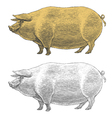 Pig or swine in vintage engraved style vector image vector image