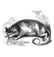 Water Opossum vintage engraving vector image vector image