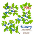 bilberry plant set on white background vector image