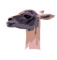 portrait of a guanaco camel on a white background vector image