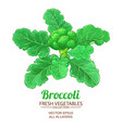 broccoli plant isolated on white background vector image
