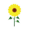 sunflower with green leafs on white background vector image vector image