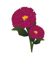 bright pink zinnia flowers with green leafs on vector image vector image