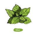 mint drawing isolated on the vector image vector image