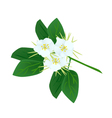 Snowy Orchid Flowers or Bauhinia Acuminata Flowers vector image vector image
