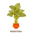 monstera decorative houseplant in pot florist vector image vector image