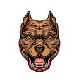 vintage colorful cruel pitbull head vector image
