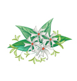 Beautiful Night Blooming Jasmine on White Backgrou vector image vector image