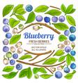 blueberry plant elements set on white background vector image vector image