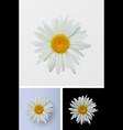 chamomile flower isolated closeup vector image