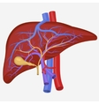 Human internal liver vector image vector image