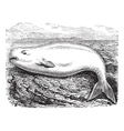 Beluga Whale vintage engraving vector image vector image
