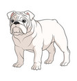 Color a white english bulldog