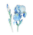 iris flowers hand drawn vector image