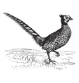 Common Pheasant vintage engraving vector image vector image