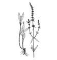 stachys recta botanical vector image vector image