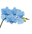 Blue orchid branch with buds vector image vector image