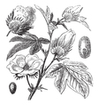 Pima Cotton vintage engraving vector image