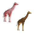 giraffes isolated on white vector image vector image