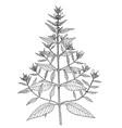 galeopsis ladanum botanical vector image vector image