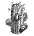 Euphorbia officinarum vintage engraving vector image vector image