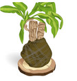 dracaena fragrant on wooden vector image