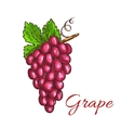 Bunch of pink grape fruit sketch for drinks design vector image vector image