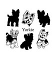 set yorkies collection pedigree dogs black vector image vector image