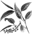 Tailed Pepper Vintage engraving vector image vector image