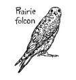 prairie falcon - sketch hand drawn vector image vector image