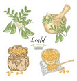 lentil branch with pods and flowers ripe vector image