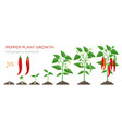 chilli pepper plant growth stages infographic vector image vector image