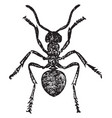 red wood ant worker vintage vector image vector image