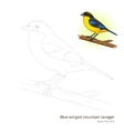 Blue winged mountain tanager draw vector image vector image