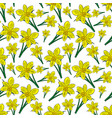 blooming yellow daffodils with green leaves vector image