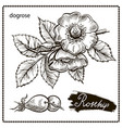 dogrose vector image vector image