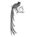 Resplendent Quetzal Engraving vector image