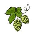 Green hop plant sketch style vector image vector image