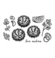 ink sketch urchins vector image vector image